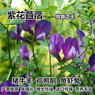 江苏省无锡市江阴市紫花苜蓿