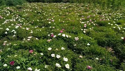 甘肃省兰州市城关区紫斑牡丹 2~4cm 4cm以下 0.5~1米
