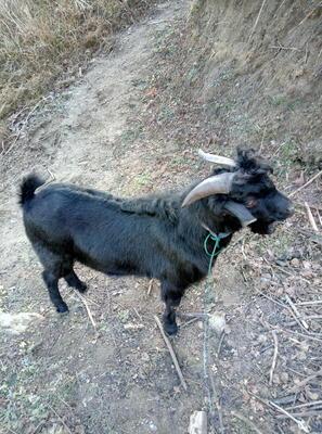 湖北省黄冈市麻城市黑山羊 30-50斤