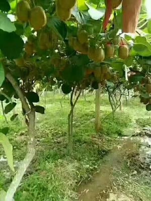 陕西省西安市周至县徐香猕猴桃 80~100克