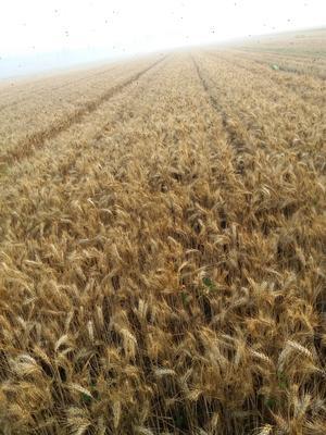 山东省德州市临邑县小麦种子