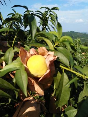 这是一张关于黄金黄桃 70mm以上 3 - 4两的产品图片