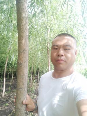 黑龙江省绥化市青冈县垂柳