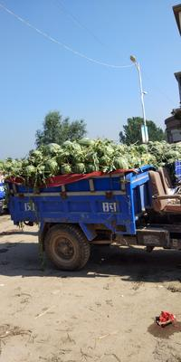 这是一张关于冠龙西瓜 无籽 1茬 9成熟 8斤打底的产品图片