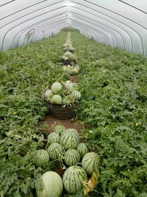 安徽省阜阳市临泉县8424西瓜 有籽 2茬 8成熟 5斤打底
