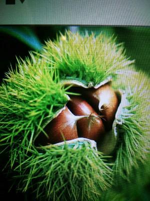 这是一张关于京山板栗 统货 特选的产品图片