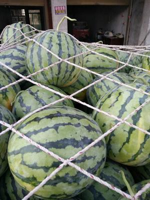 河南省周口市太康县麒麟西瓜 有籽 1茬 8成熟 6斤打底
