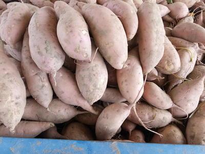 河南省开封市开封县龙九双季商薯19 黄皮 3两以上