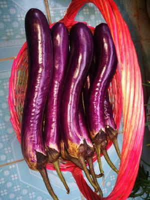 这是一张关于紫长茄 4两以上的产品图片