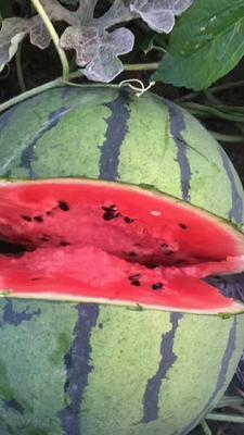 吉林省四平市公主岭市京欣西瓜 有籽 1茬 8成熟 8斤打底