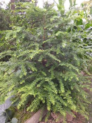 这是一张关于南方红豆杉 2.0~2.5米的产品图片