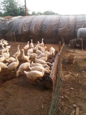 山西省运城市芮城县大白鹅 统货 半圈养半散养 6-8斤