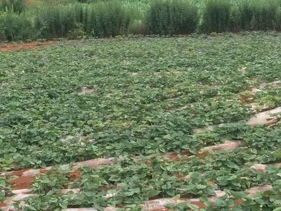 这是一张关于西瓜红 红皮 3~8两的产品图片