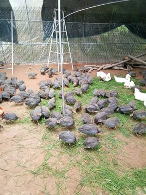 湖南省长沙市天心区灰色珍珠鸡 4-6斤