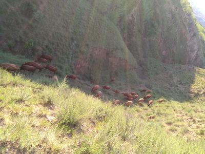这是一张关于秦川牛 400-600斤 公牛的产品图片