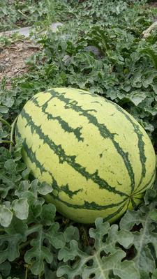宁夏回族自治区中卫市沙坡头区硒砂瓜 有籽 1茬 9成熟 15斤打底