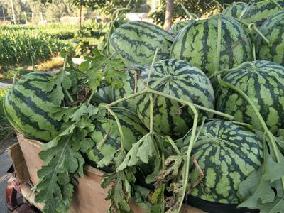 这是一张关于春光六二西瓜 有籽 1茬 9成熟 8斤打底的产品图片