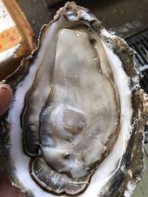 广东省珠海市金湾区阳江生蚝 人工殖养 3-5只/公斤