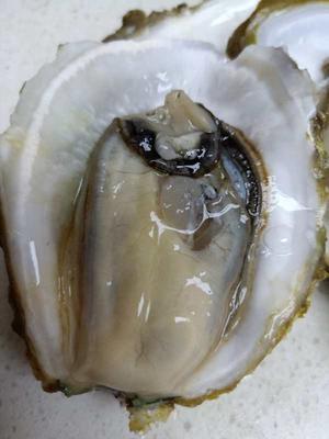 广西壮族自治区南宁市青秀区北海牡蛎 人工殖养 1-3只/公斤