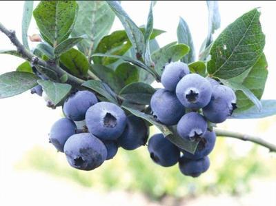 贵州省黔南布依族苗族自治州福泉市麻江蓝莓 鲜果 4 - 6mm以上
