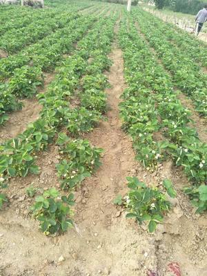 山东省泰安市岱岳区全明星草莓苗 地栽苗 10~20公分