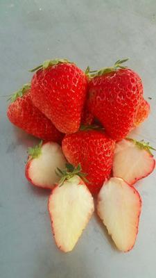 山东省泰安市岱岳区小白草莓苗 地栽苗 10~20公分