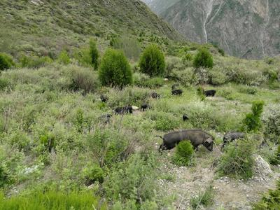 四川省阿坝藏族羌族自治州茂县藏香猪 60斤以上