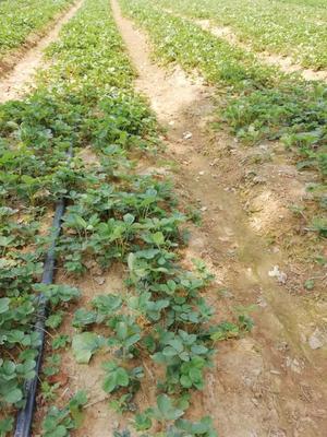 山东省泰安市泰山区甜查理草莓苗 地栽苗 10~20公分