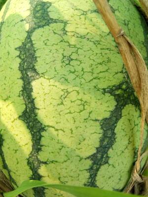 河南省商丘市夏邑县西农8号西瓜 有籽 1茬 9成熟 10斤打底