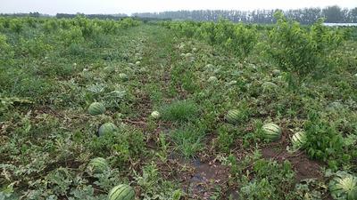 山东省青岛市即墨市京欣西瓜 有籽 1茬 9成熟 8斤打底