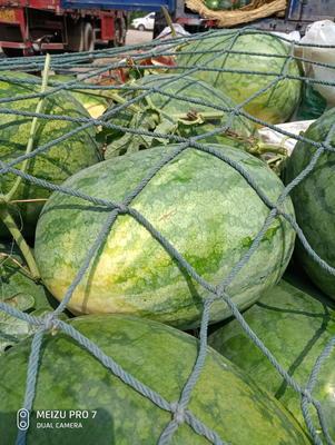 河南省开封市尉氏县龙卷风西瓜 有籽 1茬 9成熟 7斤打底