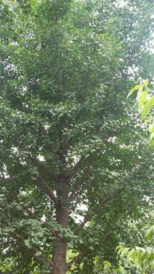 安徽省宿州市砀山县银杏实生树