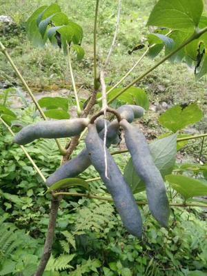 江西省上饶市鄱阳县蓝焦果种子