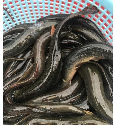 广东省广州市天河区野生泥鳅 45尾/公斤 10-15cm 野生