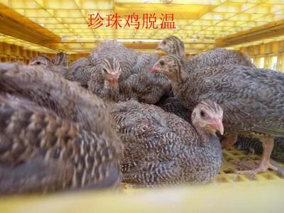 四川省德阳市广汉市珍珠鸡苗
