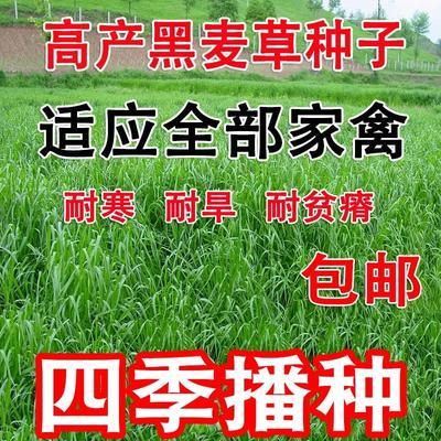 江苏省无锡市江阴市黑麦草种子