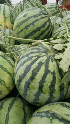 河南省开封市通许县京欣西瓜 有籽 1茬 9成熟 8斤打底