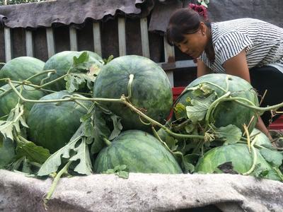 河南省周口市扶沟县龙卷风西瓜 有籽 1茬 9成熟 8斤打底
