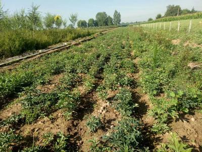 甘肃省兰州市城关区紫斑牡丹 2cm以下 4cm以下 0.5米以下