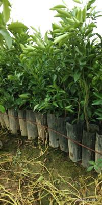 这是一张关于春见柑桔苗 杯苗袋苗 0.5~1米的产品图片