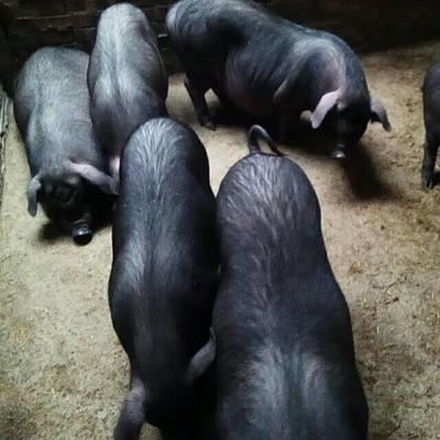贵州省黔东南苗族侗族自治州榕江县从江香猪 20斤以下