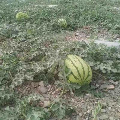 甘肃省白银市靖远县硒沙瓜 有籽 1茬 9成熟 10斤打底