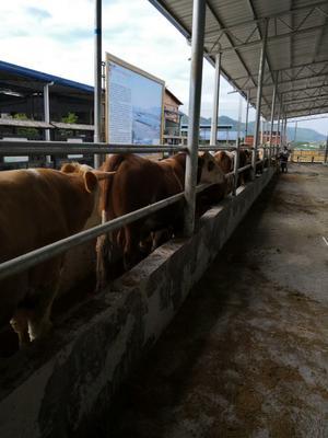 湖南省永州市江华瑶族自治县肉牛 1000斤以上 公牛
