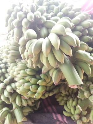 广西壮族自治区南宁市西乡塘区小米蕉 八成熟 40 - 50斤