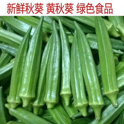河南省洛阳市宜阳县黄秋葵 8 - 10cm