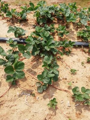 山东省泰安市泰山区奶油草莓苗 地栽苗 10~20公分