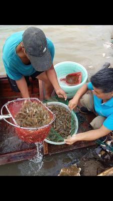 山东省滨州市无棣县南美对虾 人工殖养 9钱以上