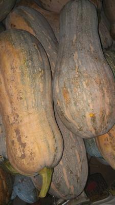 这是一张关于蜜本南瓜 6~10斤 长条形的产品图片