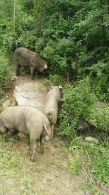 这是一张关于山林黑猪 200-300斤的产品图片