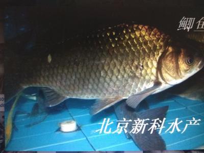 北京顺义区鲫鱼苗